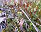 Кукушкин лён (Polytrichum) - род растений из класса лиственных мхов, фото № 111456, снято 30 апреля 2007 г. (c) Parmenov Pavel / Фотобанк Лори