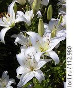 Купить «Белые лилии», эксклюзивное фото № 112980, снято 20 мая 2019 г. (c) Павел Широков / Фотобанк Лори