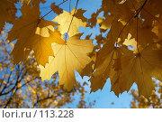 Купить «Свет сквозь кленовые листья», фото № 113228, снято 20 октября 2007 г. (c) Арестов Андрей Павлович / Фотобанк Лори