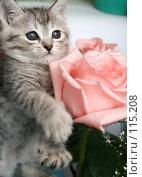 Купить «Серый котенок и розовая роза», фото № 115208, снято 13 июля 2007 г. (c) Останина Екатерина / Фотобанк Лори