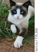 Купить «Кошка с голубыми глазами тянет лапу», фото № 115300, снято 18 августа 2006 г. (c) Останина Екатерина / Фотобанк Лори