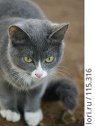 Купить «Взгляд серой  кошки летним днем», фото № 115316, снято 9 ноября 2005 г. (c) Останина Екатерина / Фотобанк Лори