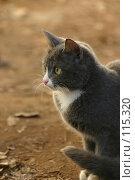 Купить «Взгляд серой  кошки летним днем», фото № 115320, снято 9 ноября 2005 г. (c) Останина Екатерина / Фотобанк Лори