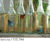Купить «Бойцовые рыбки петушки. Самцы. Лабиринтовые рыбки в стеклянных бутылках», фото № 115744, снято 28 марта 2007 г. (c) Колчева Ольга / Фотобанк Лори