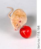 Купить «Крыса умывается перед едой», фото № 118164, снято 23 сентября 2007 г. (c) Иван / Фотобанк Лори
