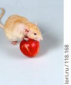 Купить «Крыса катит яблоко», фото № 118168, снято 23 сентября 2007 г. (c) Иван / Фотобанк Лори