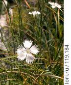 Купить «Белая гвоздика в густой траве», фото № 119184, снято 5 августа 2007 г. (c) Вячеслав Потапов / Фотобанк Лори