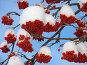 Рябина под снегом, фото № 129952, снято 17 декабря 2004 г. (c) Serg Zastavkin / Фотобанк Лори