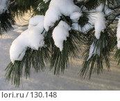 Купить «Ветвь сибирской сосны под снегом», фото № 130148, снято 17 декабря 2004 г. (c) Serg Zastavkin / Фотобанк Лори