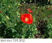 Купить «Красный мак», фото № 131912, снято 6 июня 2007 г. (c) Тютькало Игорь / Фотобанк Лори