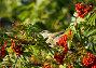 Ягоды рябины и птица, фото № 132916, снято 24 сентября 2007 г. (c) Бутинова Елена / Фотобанк Лори