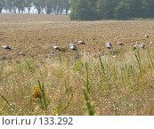 Купить «Стая аистов перед отлетом», фото № 133292, снято 12 августа 2007 г. (c) Тютькало Игорь / Фотобанк Лори