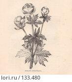 """Купить «Купальница Trollius, иллюстрация из книги """"Flowers of the field"""", издано в Лондоне в 1888», иллюстрация № 133480 (c) Tamara Kulikova / Фотобанк Лори"""