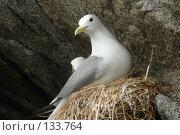 Чайка в гнезде. Стоковое фото, фотограф Николаенко Алексей / Фотобанк Лори