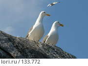 Две чайки на камне, на фоне голубого неба. Стоковое фото, фотограф Николаенко Алексей / Фотобанк Лори