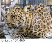Купить «Дальневосточный леопард», фото № 134460, снято 10 октября 2004 г. (c) Serg Zastavkin / Фотобанк Лори