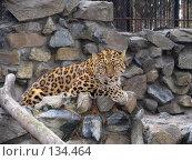 Купить «Дальневосточный леопард», фото № 134464, снято 10 октября 2004 г. (c) Serg Zastavkin / Фотобанк Лори