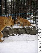 Купить «Львенок и львица», фото № 134476, снято 7 ноября 2004 г. (c) Serg Zastavkin / Фотобанк Лори