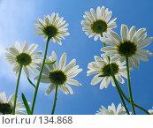 Купить «Ромашки», фото № 134868, снято 28 июня 2005 г. (c) Serg Zastavkin / Фотобанк Лори