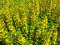 Желтые цветы, фото № 134916, снято 28 июня 2005 г. (c) Serg Zastavkin / Фотобанк Лори