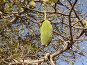 Сенегал. Плод баобаба, фото № 137508, снято 2 декабря 2007 г. (c) Евгений Горюнов / Фотобанк Лори