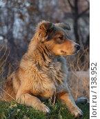Купить «Рыжая собака», фото № 138952, снято 29 ноября 2007 г. (c) Dmitriy Andrushchenko / Фотобанк Лори