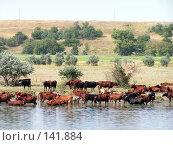 Купить «Коровы пасутся у воды», фото № 141884, снято 8 августа 2006 г. (c) Михаил Мозжухин / Фотобанк Лори