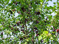 Сливовое дерево, фото № 146044, снято 8 августа 2007 г. (c) Ольга Шилина / Фотобанк Лори