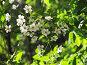 Вишневый цвет, фото № 147548, снято 21 мая 2007 г. (c) Ольга Хорькова / Фотобанк Лори