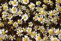 Ромашковое поле, фото № 149116, снято 6 мая 2006 г. (c) Максим Горпенюк / Фотобанк Лори