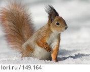Купить «Белка на снегу», фото № 149164, снято 29 марта 2005 г. (c) Максим Горпенюк / Фотобанк Лори