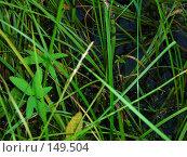 Купить «Водная растительность», фото № 149504, снято 29 июля 2007 г. (c) Макарова Наталья / Фотобанк Лори