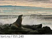 Купить «Морской Котик на скале», фото № 151240, снято 5 декабря 2007 г. (c) Николай / Фотобанк Лори