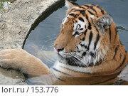 Купить «Уссурийский тигр, купающийся в бассейне», фото № 153776, снято 23 сентября 2007 г. (c) Иван Мацкевич / Фотобанк Лори
