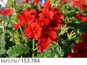 Купить «Уличные красные цветы», фото № 153784, снято 26 сентября 2007 г. (c) Иван Мацкевич / Фотобанк Лори