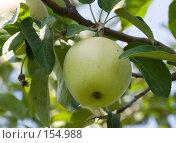 Купить «Спелое яблоко», фото № 154988, снято 18 сентября 2018 г. (c) SummeRain / Фотобанк Лори