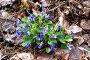 Лесные фиалки нежно-голубого цвета на фоне сухой листвы, фото № 157060, снято 11 мая 2007 г. (c) Хайрятдинов Ринат / Фотобанк Лори