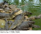 Купить «Большие крокодилы.Таиланд», фото № 158164, снято 25 марта 2007 г. (c) Колчева Ольга / Фотобанк Лори