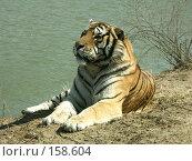 Купить «Тигр на водоеме», фото № 158604, снято 28 апреля 2007 г. (c) Хижняк Сергей / Фотобанк Лори