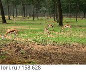 Купить «Антилопы», фото № 158628, снято 10 июля 2007 г. (c) Хижняк Сергей / Фотобанк Лори