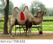 Купить «Верблюд на стоянке», фото № 158632, снято 10 июля 2007 г. (c) Хижняк Сергей / Фотобанк Лори