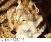 Купить «Спящий волк», фото № 159144, снято 27 октября 2007 г. (c) Карелин Д.А. / Фотобанк Лори
