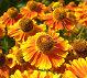 Яркие краски лета. Цветы гелениум (helenium), фото № 159736, снято 22 августа 2007 г. (c) Владимир Тарасов / Фотобанк Лори