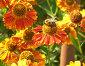Пчёлка-трудяга собирает нектар, фото № 159752, снято 22 августа 2007 г. (c) Владимир Тарасов / Фотобанк Лори