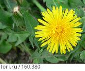 Желтый одуванчик. Стоковое фото, фотограф Андреева Анастасия / Фотобанк Лори