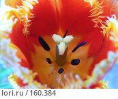 Пестик и тычинки тюльпана. Стоковое фото, фотограф Андреева Анастасия / Фотобанк Лори