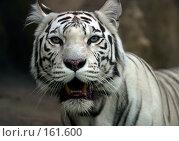 Купить «Белый тигр», фото № 161600, снято 9 июля 2005 г. (c) Морозова Татьяна / Фотобанк Лори