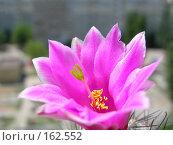 Купить «Цветок кактуса с размытым видом на двор», фото № 162552, снято 10 июня 2006 г. (c) Igor Pavlenko / Фотобанк Лори