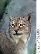 Купить «Портрет рыси», фото № 162600, снято 12 апреля 2006 г. (c) Морозова Татьяна / Фотобанк Лори