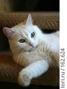 Купить «Портрет разноглазой кошки», фото № 162624, снято 15 января 2006 г. (c) Морозова Татьяна / Фотобанк Лори
